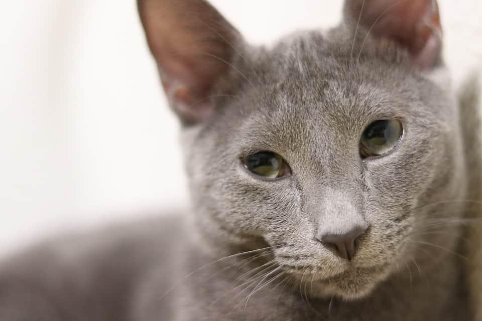 gato-azul-ruso