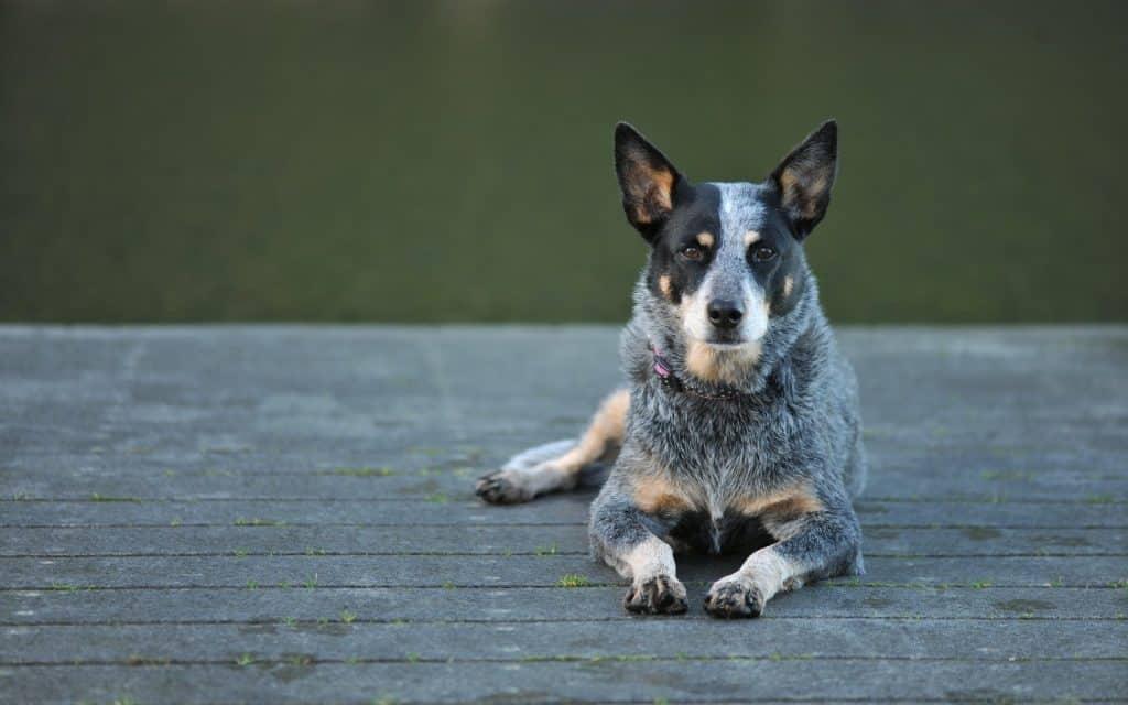 pastor-ganadero-australiano