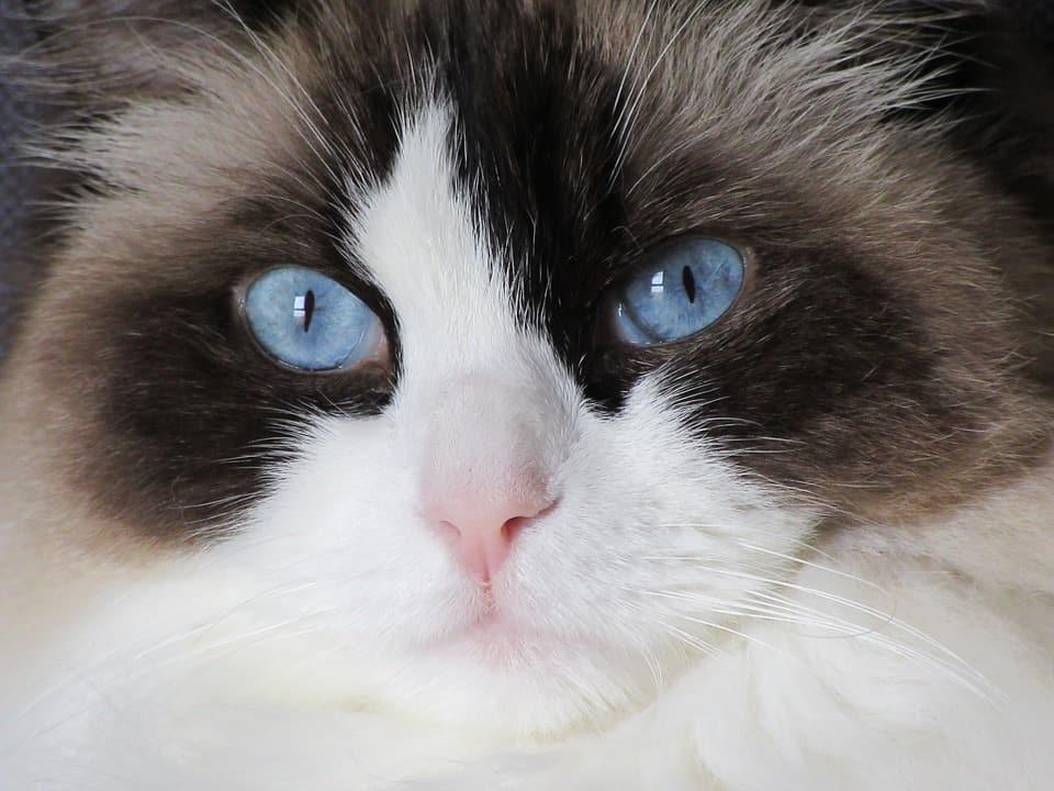 gato ragdoll