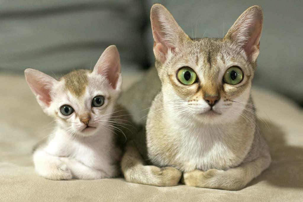 gato-burmilla