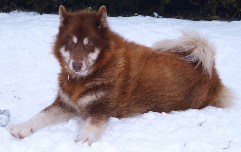Perro-Esquimal-Canadiense