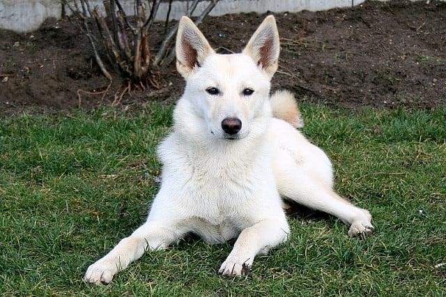 perro-del-canaan