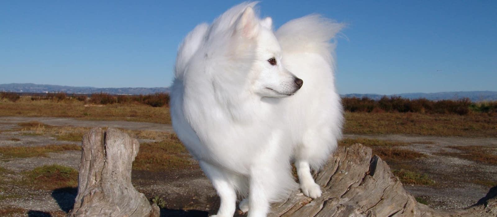 perro-esquimal-americano