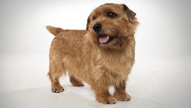 Terrier-de-Norfolk