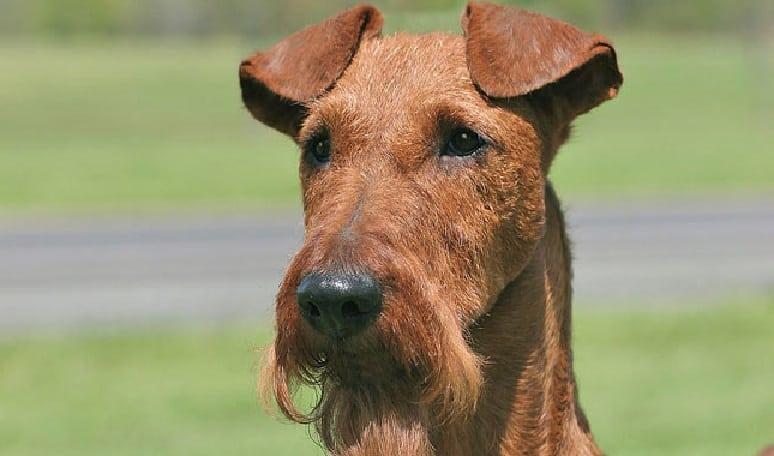 terrier-irlandes