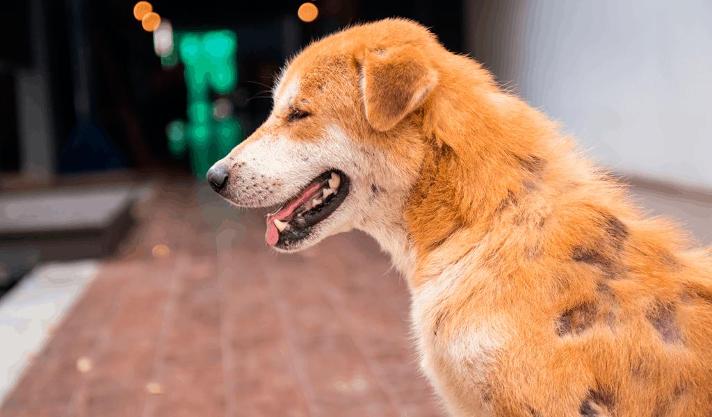 enfermedades de la piel del perro