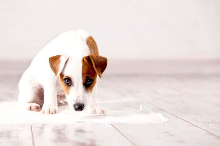 Incontinencia-urinaria-en-perros