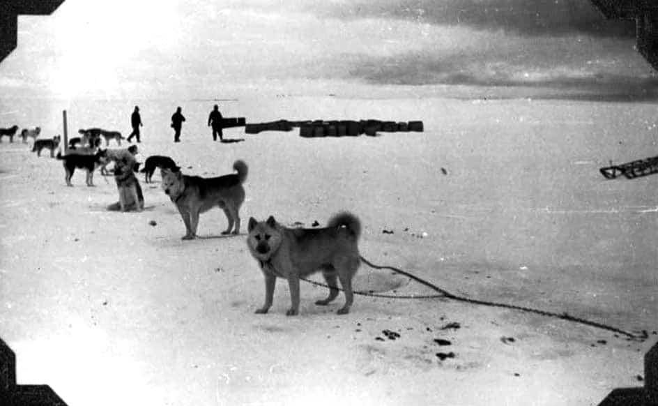 Perro-polar-argentino