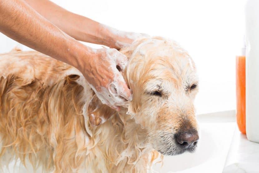 pulgas-en-perros