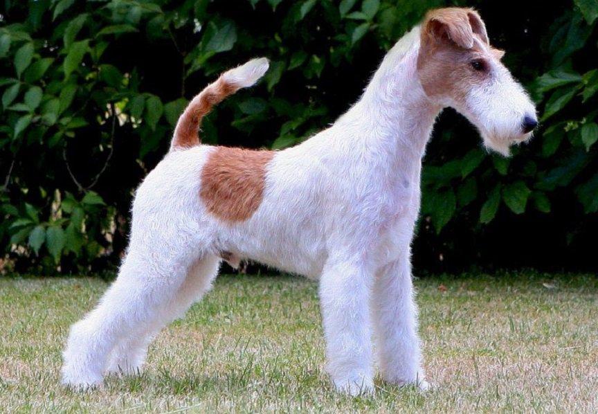 fox-terrier-pelo-duro