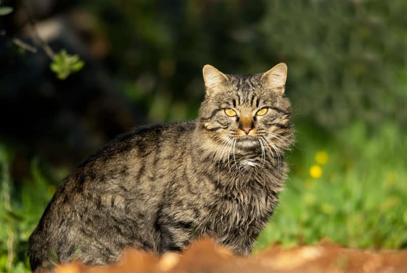 gato-montes
