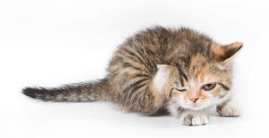 gato-pulgas