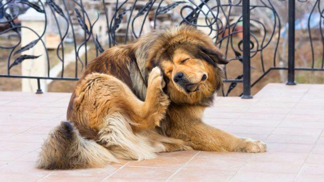 perro-pulgas