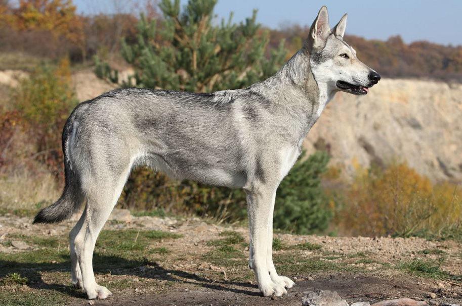 perro-lobo-saarloos