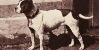 perro Bull-y-Terrier