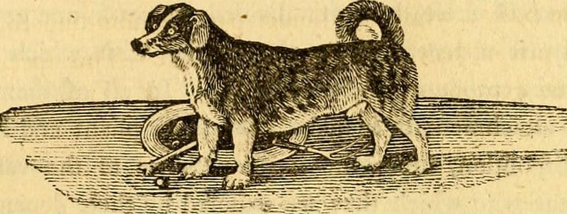turnspit-perro-cocinero